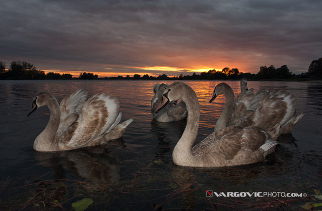 Scent Of Divine Light, Swans Labudovi, Soderica Lake, Podravina Croatia - Landscape Art Work By Boris Vargovic Fine Art Photography